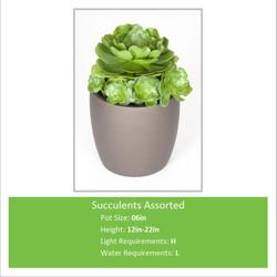 Succulents_Assorted_06inE