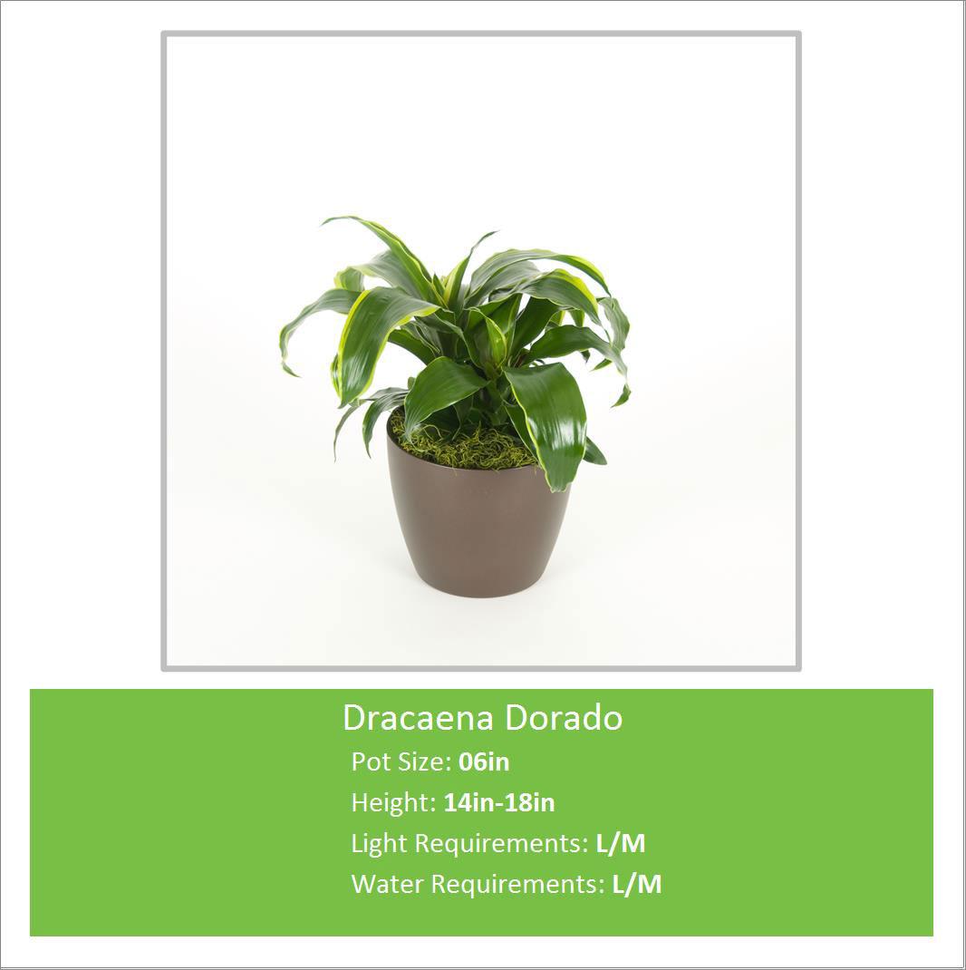 Dracaena_Dorado_06inE