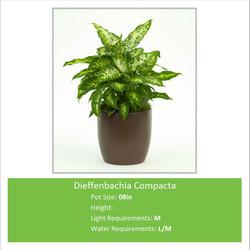 Dieffenbachia_Compacta_08in