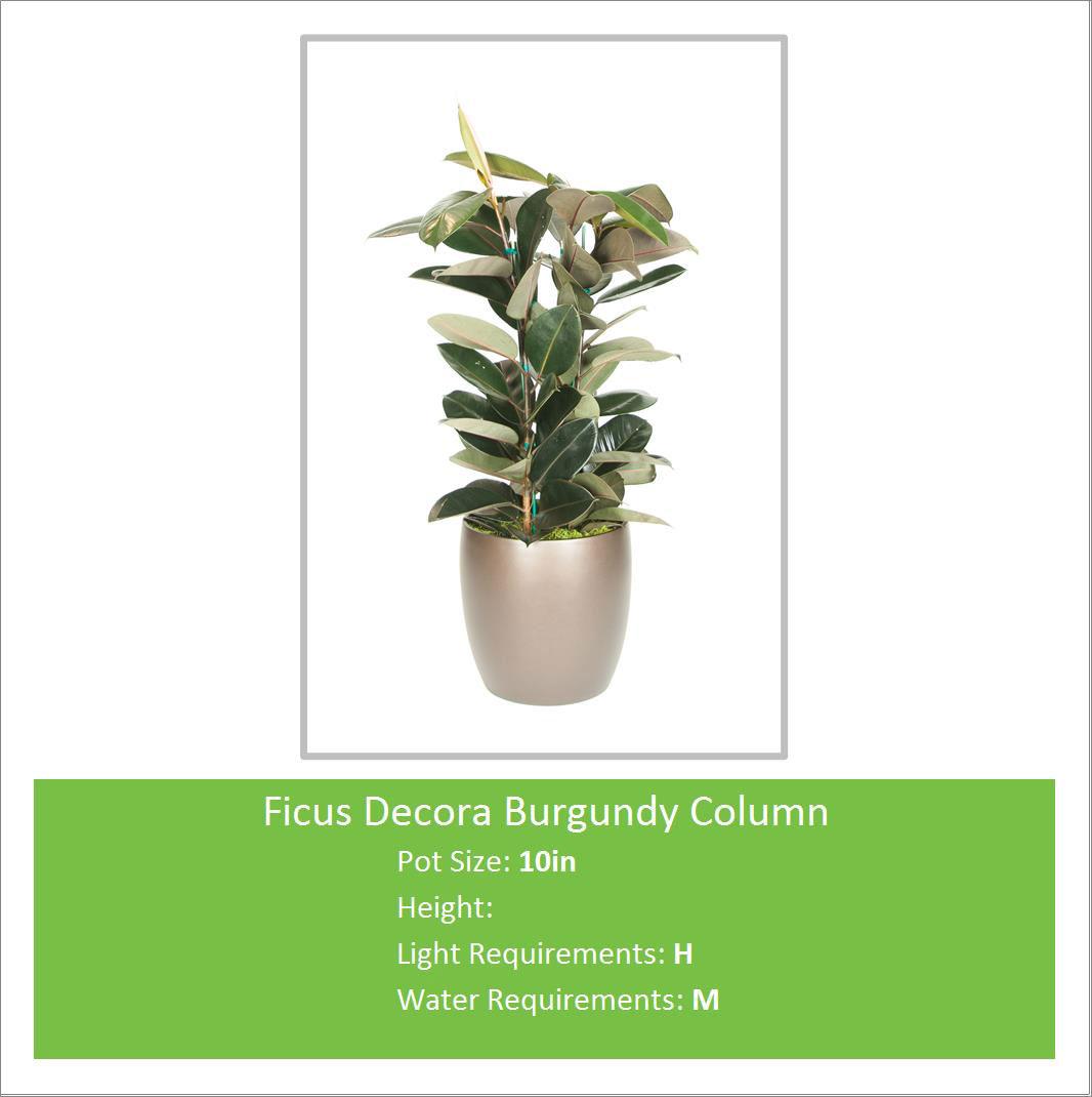 Ficus_Decora_Burgundy_Colum