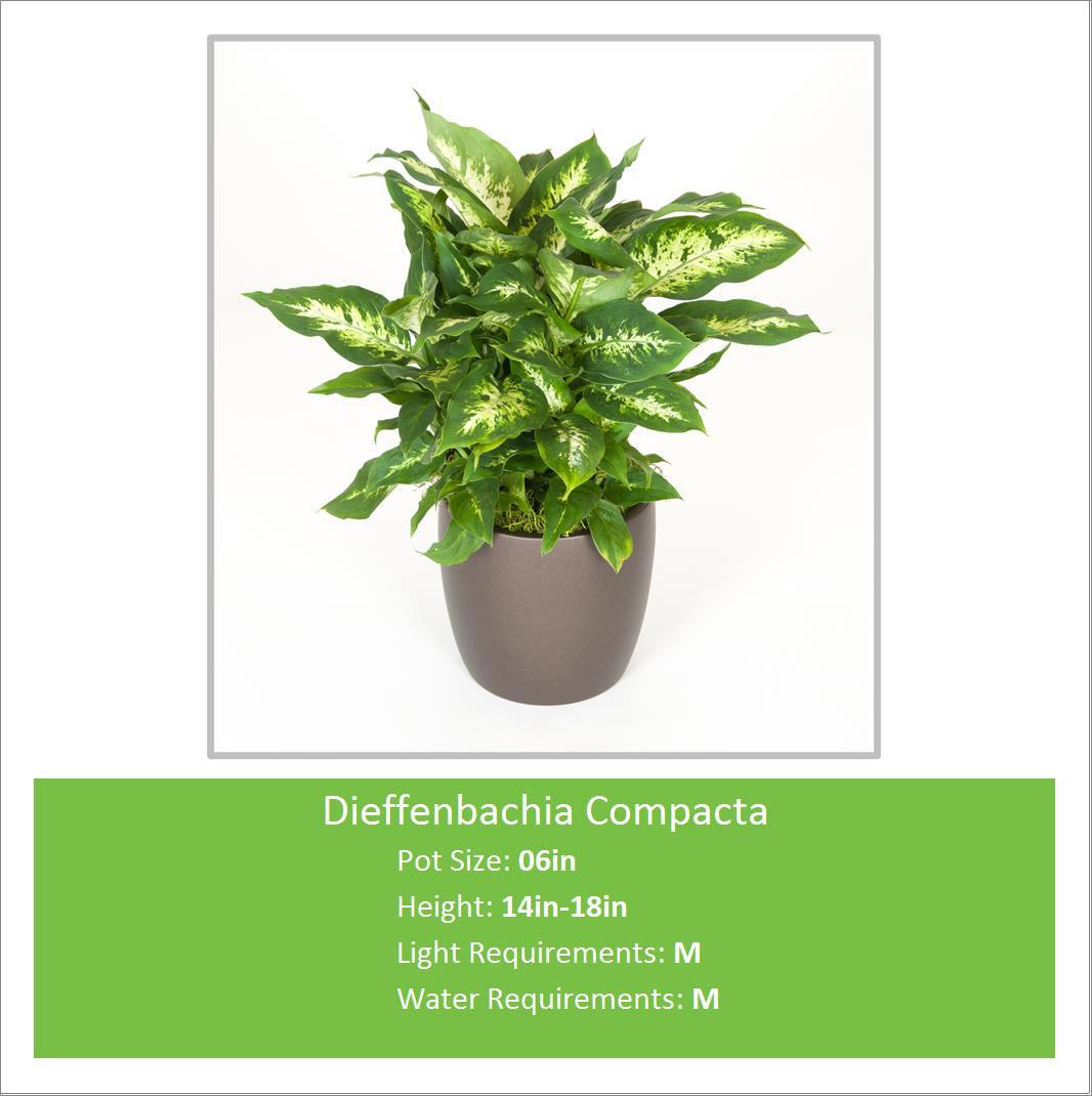 Dieffenbachia_Compacta_06in