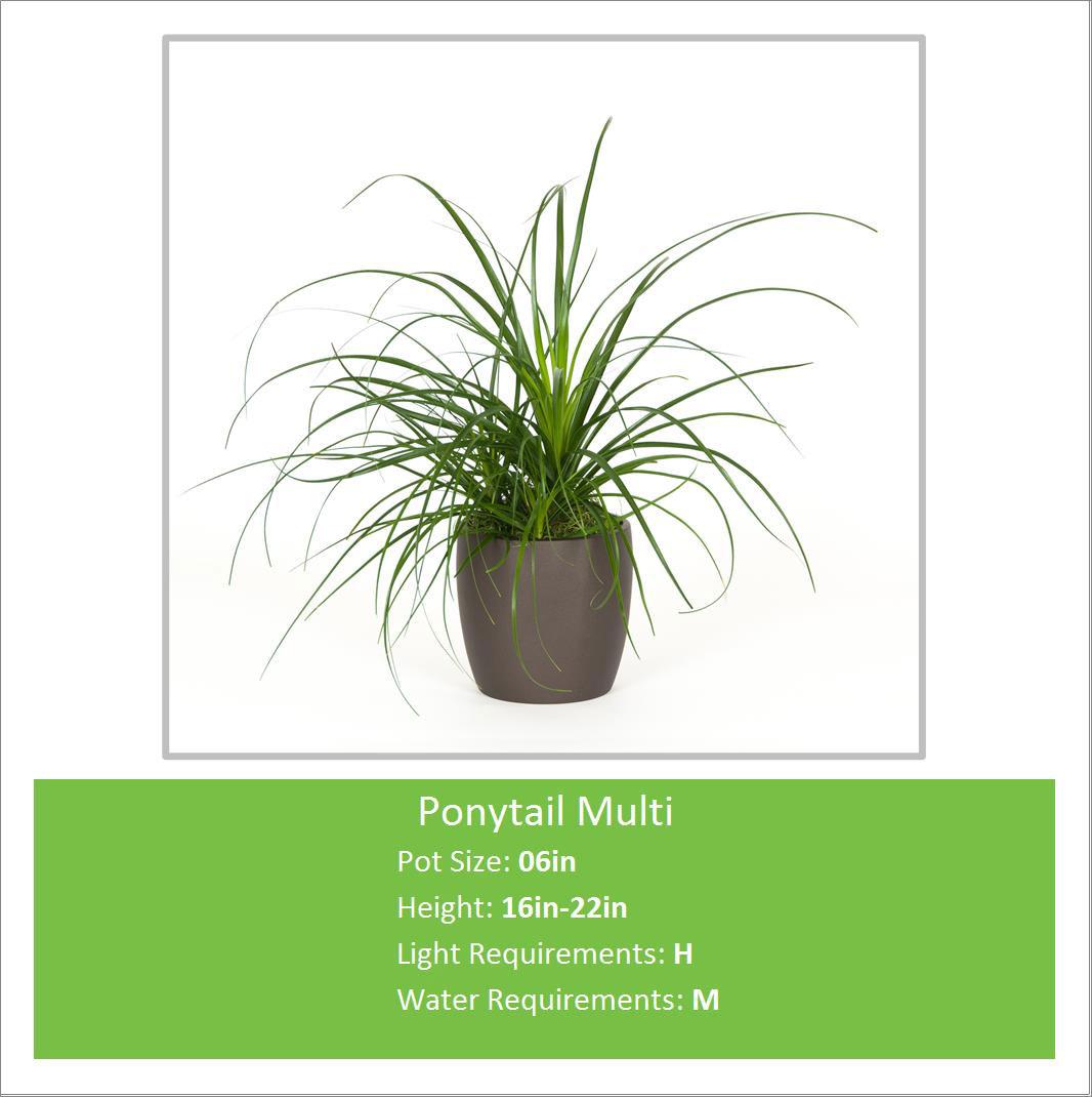 Ponytail_Multi_06inE