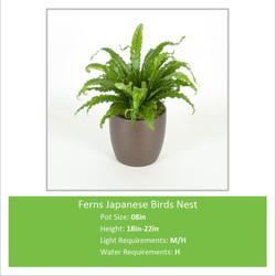 Ferns_Japanese_Birds_Nest_0