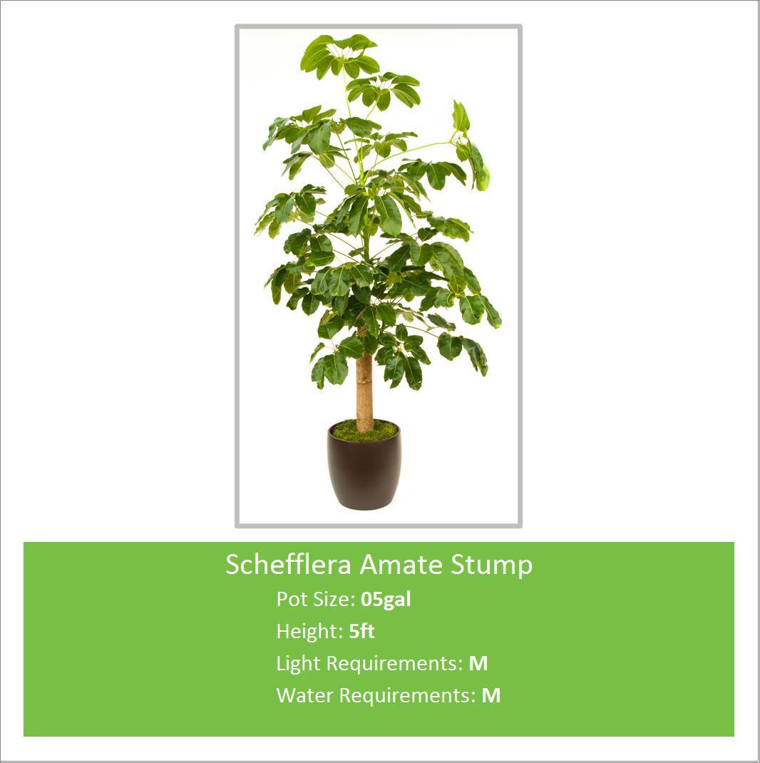 Schefflera_Amate_Stump_05ga