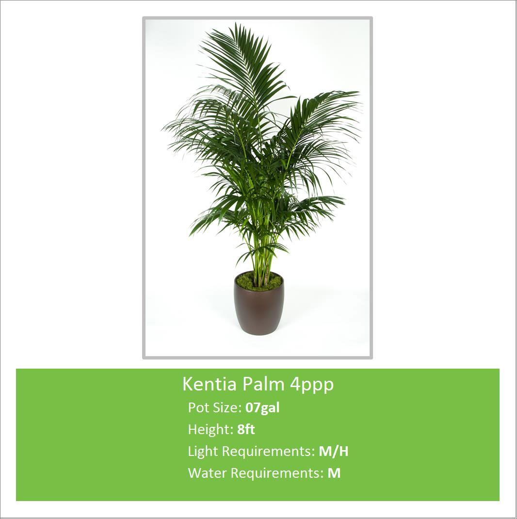 Kentia_Palm_4ppp_07galE