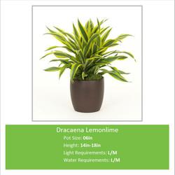 Dracaena_Lemonlime_06inE