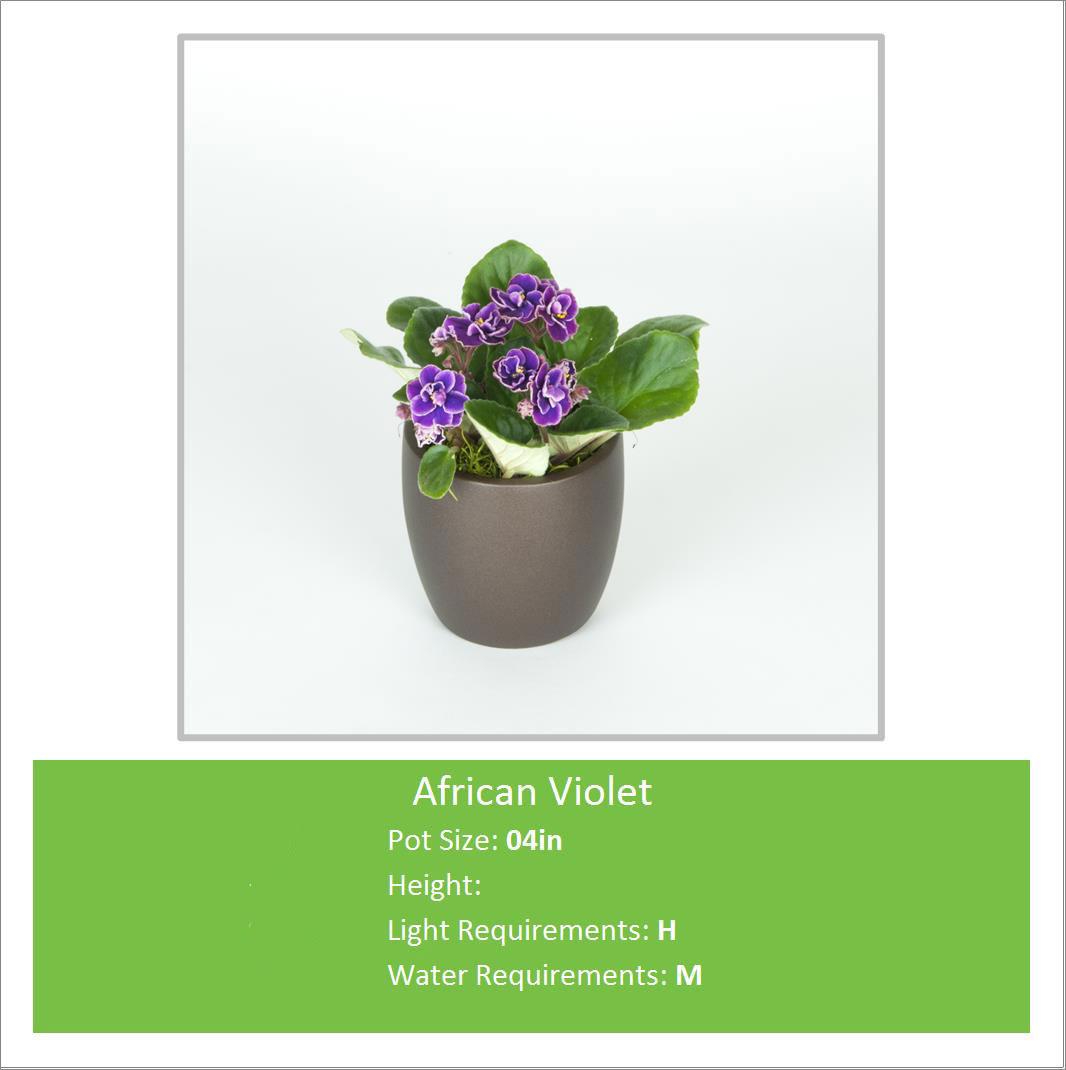 African_Violet_04inE