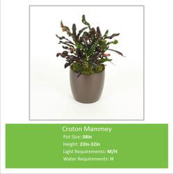 Croton_Mammey_08inE