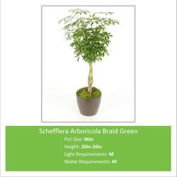 Schefflera_Arboricola_Braid