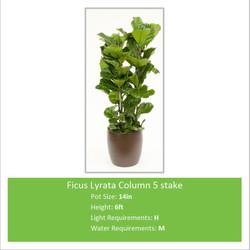 Ficus_Lyrata_Column_5_stake