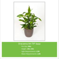 Dracaena_Art_TIP_3ppp_08inE