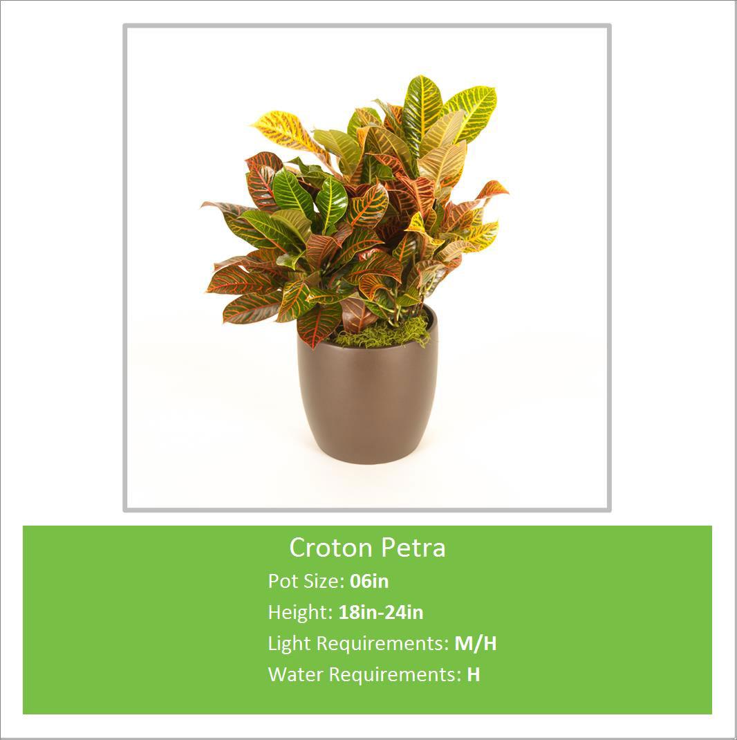 Croton_Petra_06inE