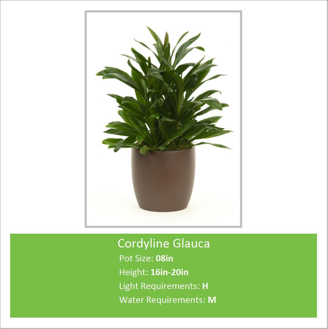 Cordyline_Glauca_08inE