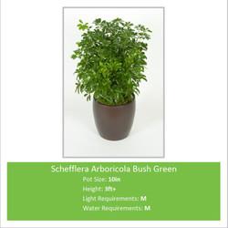 Schefflera_Arboricola_3ft