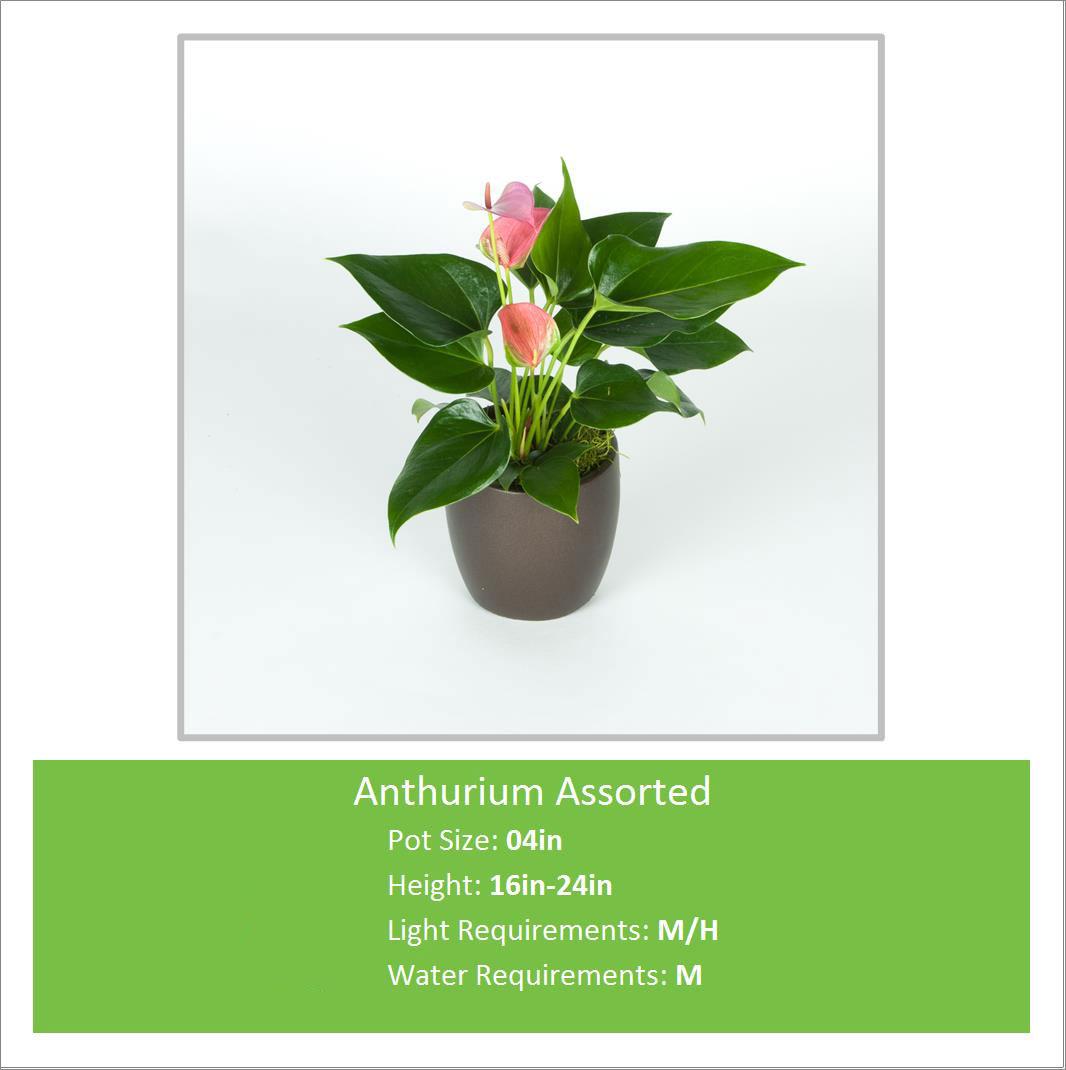 Anthurium_Assorted_04inE