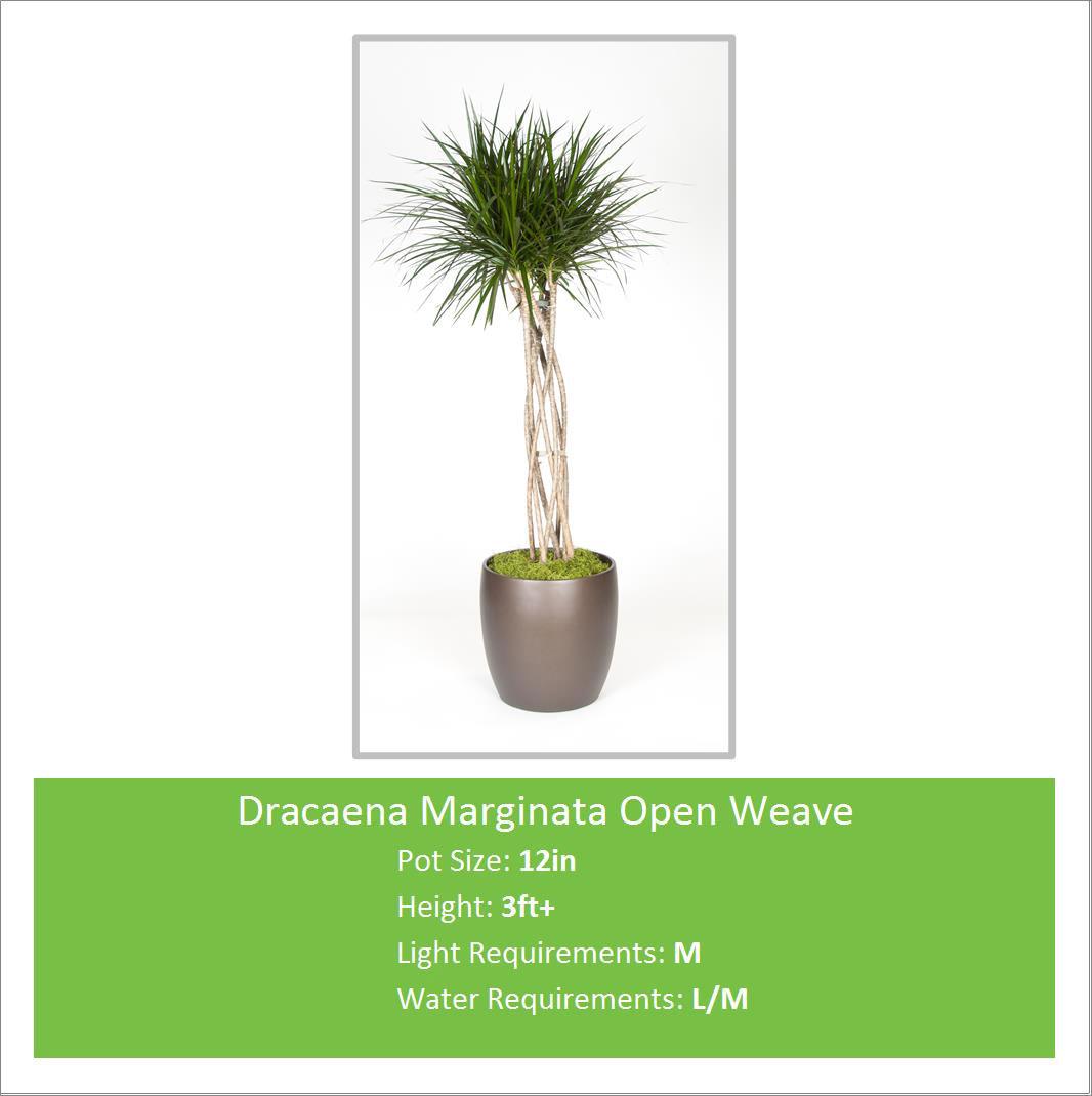 Dracaena_Marginata_Open_Wea