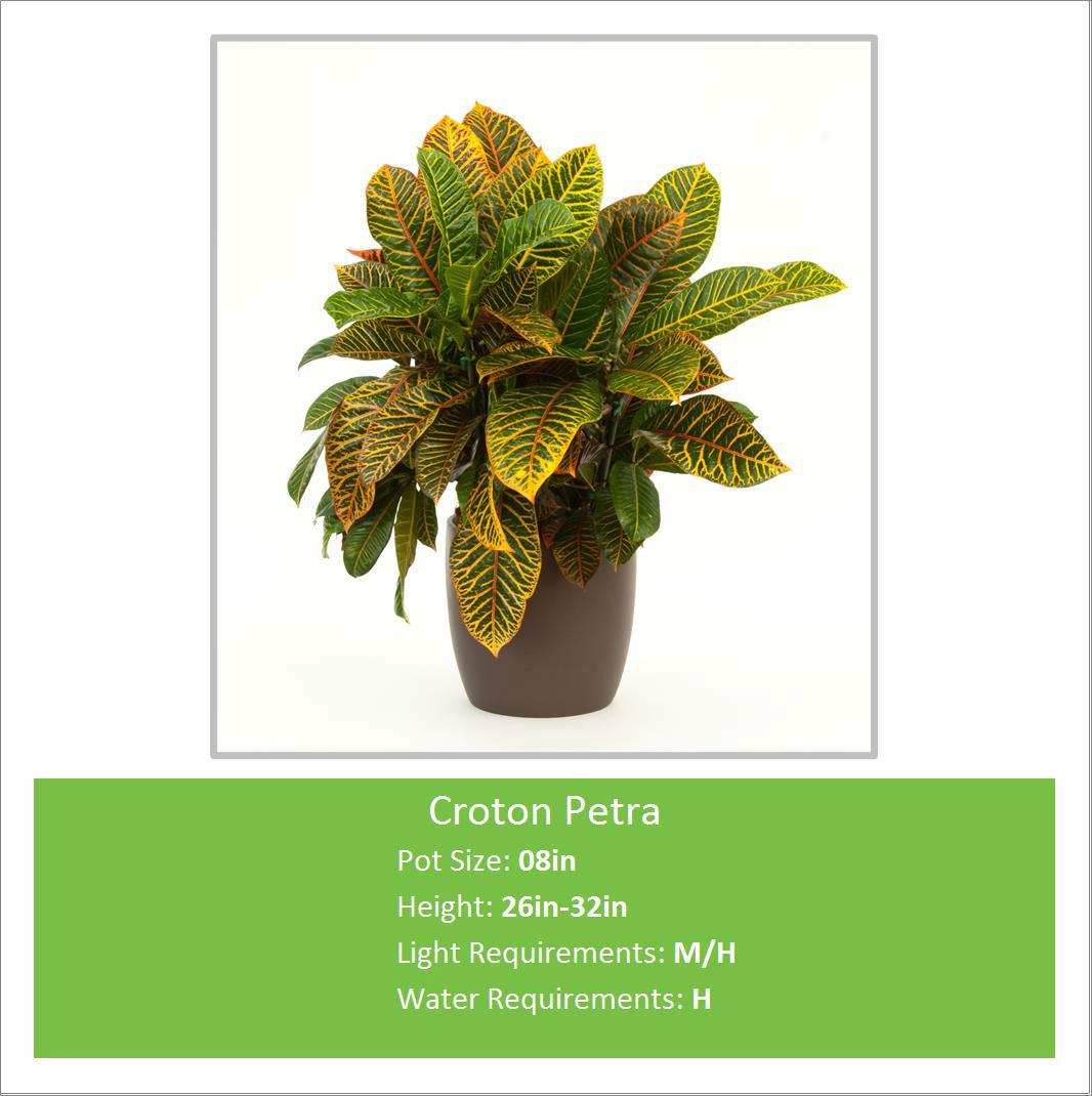 Croton_Petra_08inE