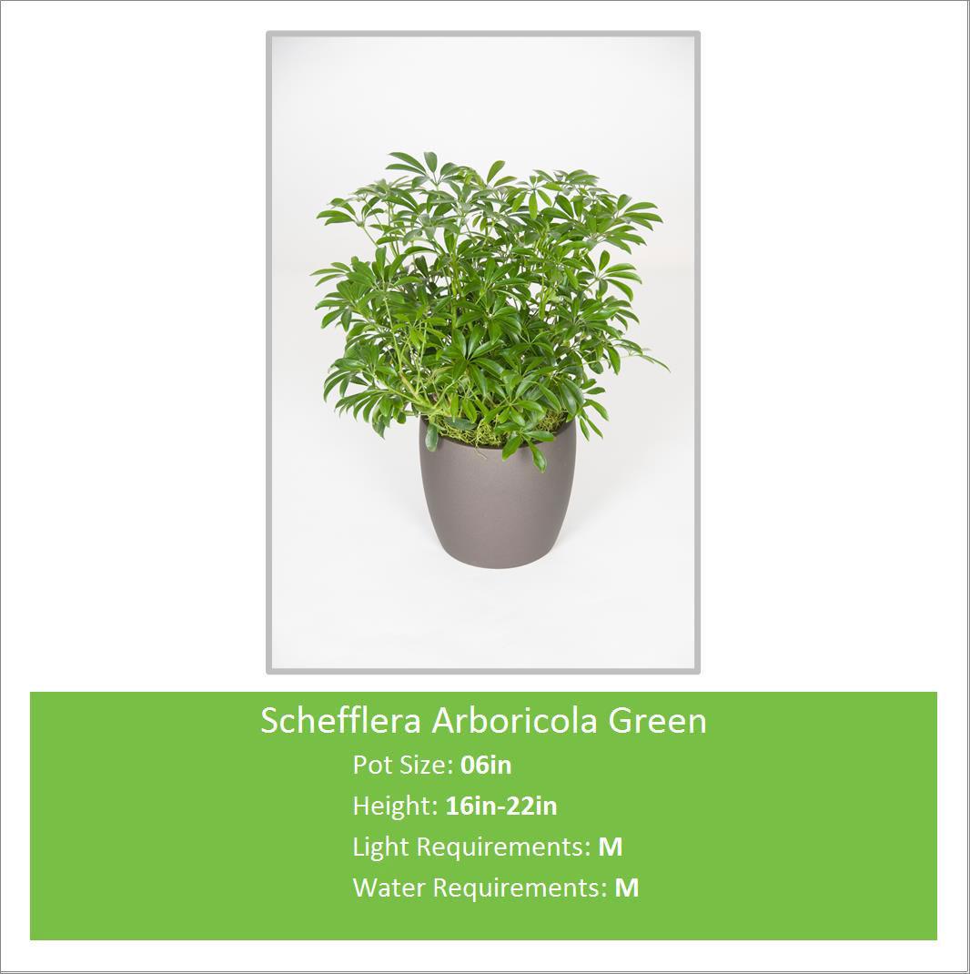 Schefflera_Arborico_12_16in