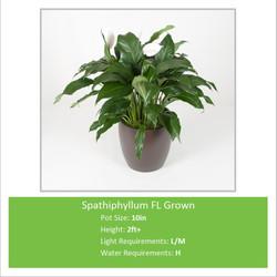 Spathiphyllum_FL_Grown_10in