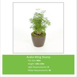 Aralia_Ming_Stump_06inE