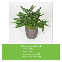 Philodendron_Xanadu_10inE