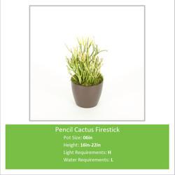 Pencil_Cactus_Firestick_06i