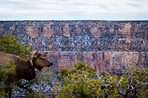 Sedona - Elk Overlooking Canyon.jpg