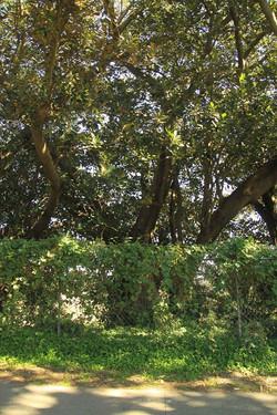 39 Moreton Bay fig