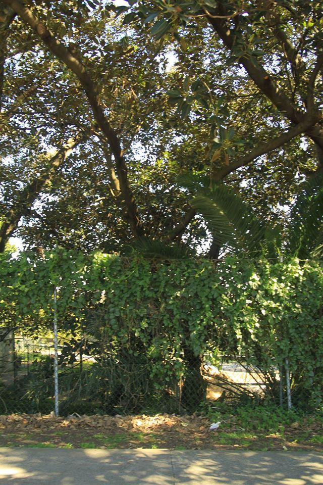 26 Moreton Bay Fig
