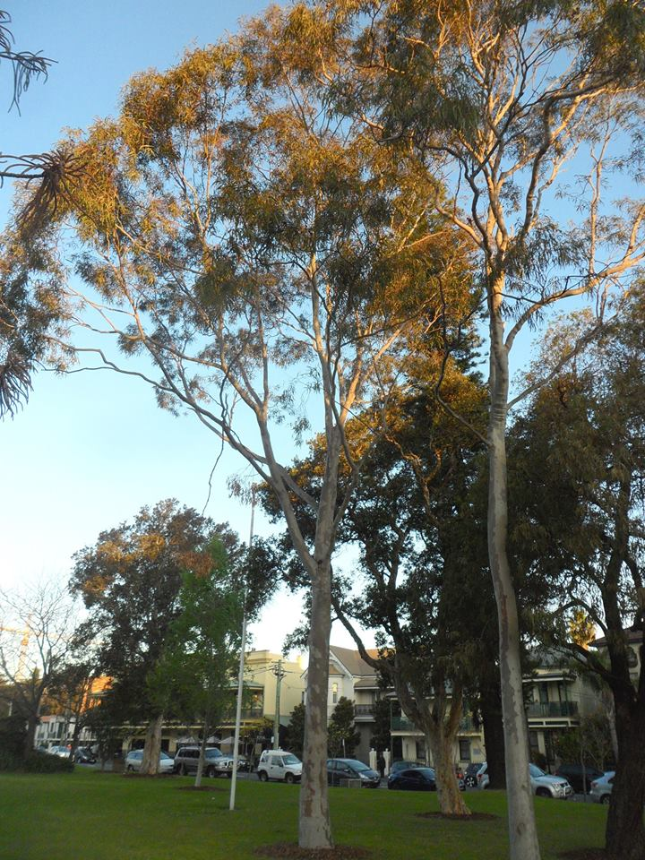 Lemon Scented Gum