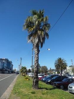 19 California Fan Palm