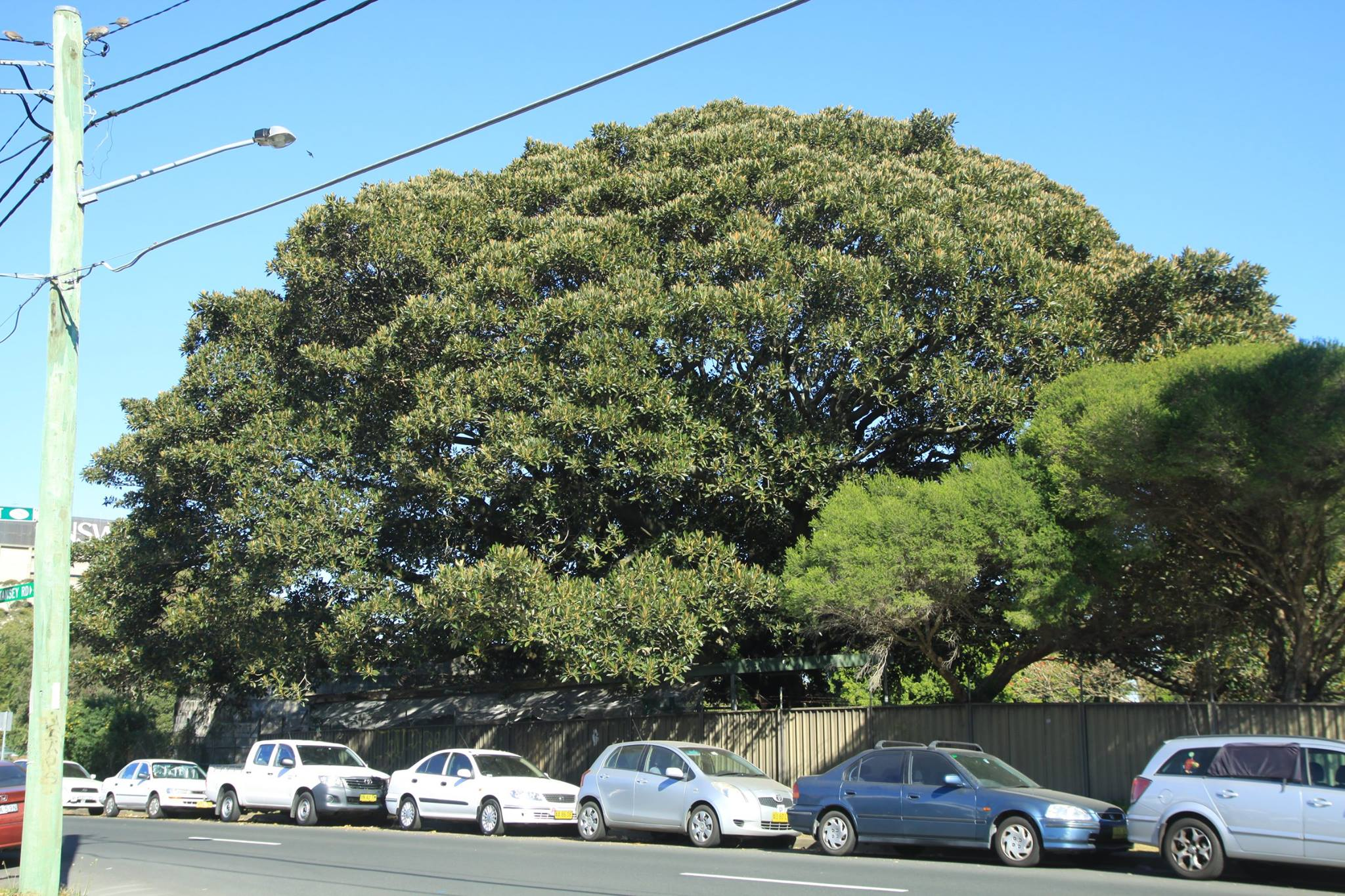 8 Moreton Bay Fig