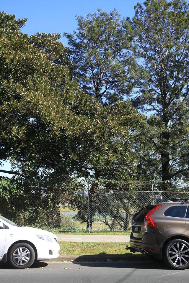 42 Silky Oak
