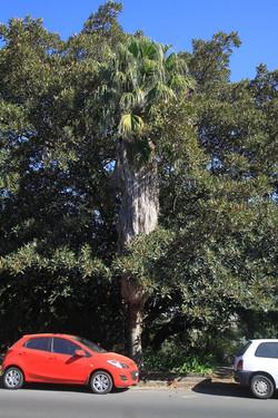 24 California Fan Palm