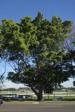Tree ID 184