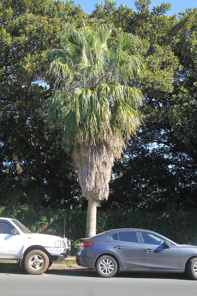 35 California Fan Palm