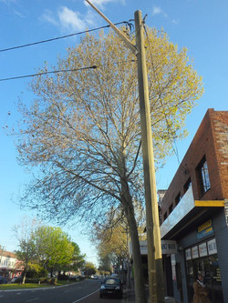 40 Plane Tree  _ to be retained (we think) _