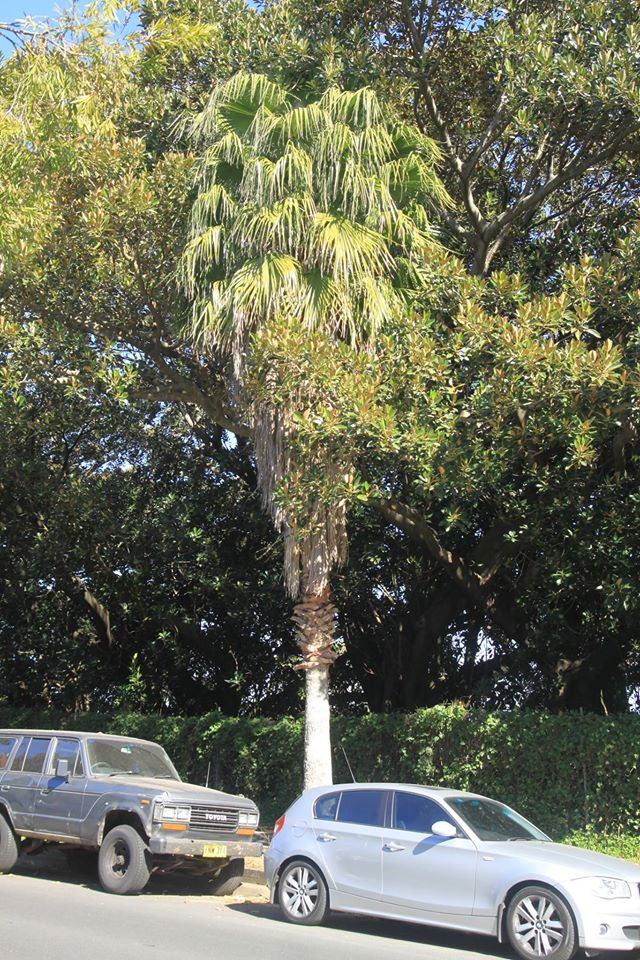 41 California Fan Palm
