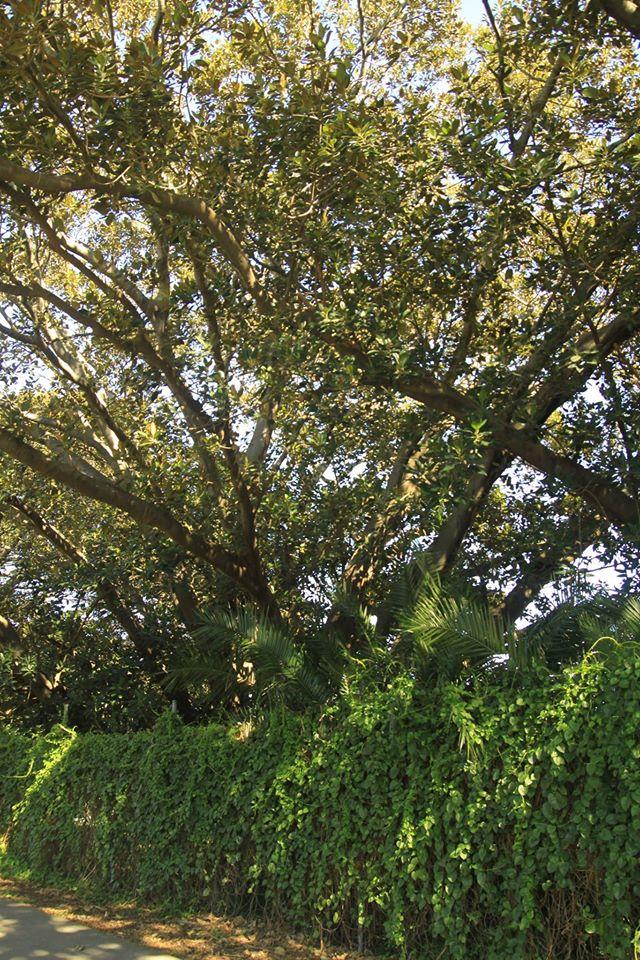 30 Moreton Bay Fig