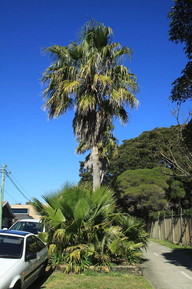 12 California Fan Palm