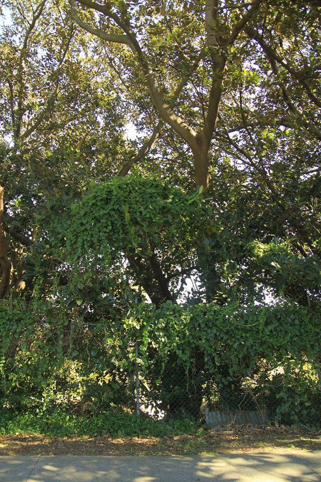 36 Moreton Bay Fig