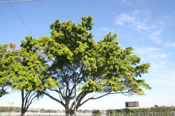 Hills Weeping Fig Tree ID: 204
