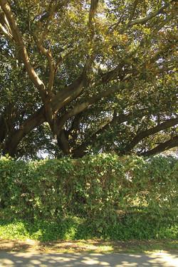 40 Moreton Bay Fig