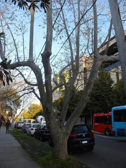 Cut Leaf Plane Tree