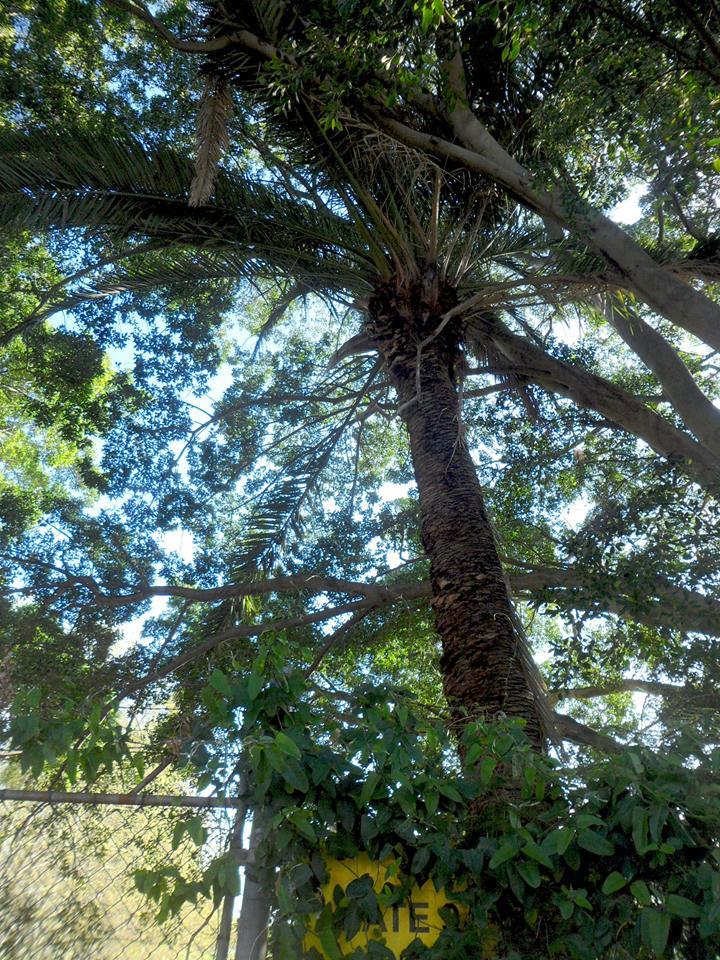 58 Canary Island Palm