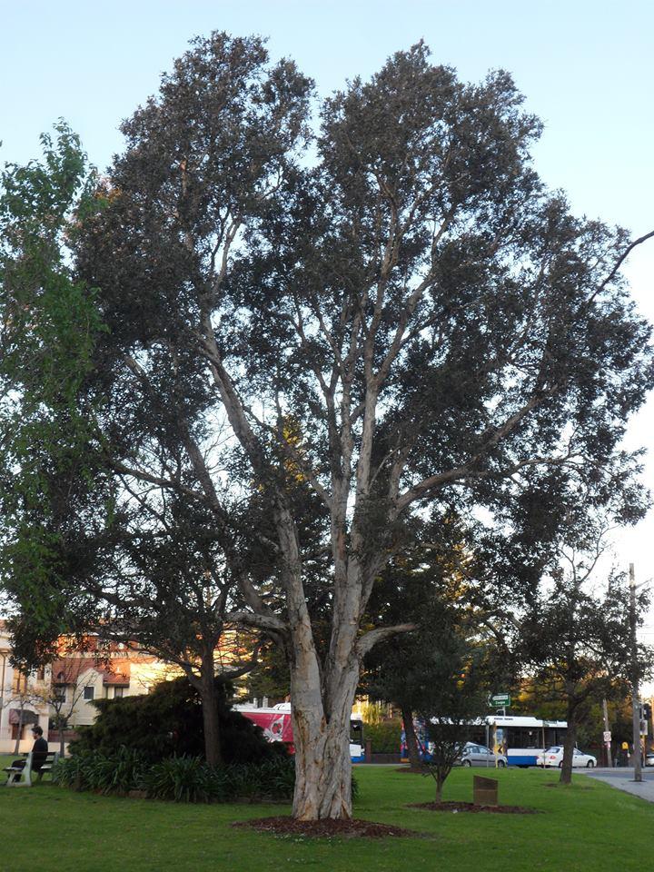 Broad Leaf Paper Bark