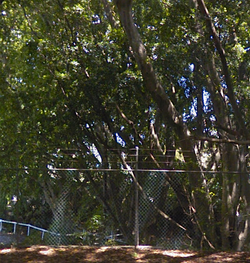 48 Hills Weeping Fig Tree
