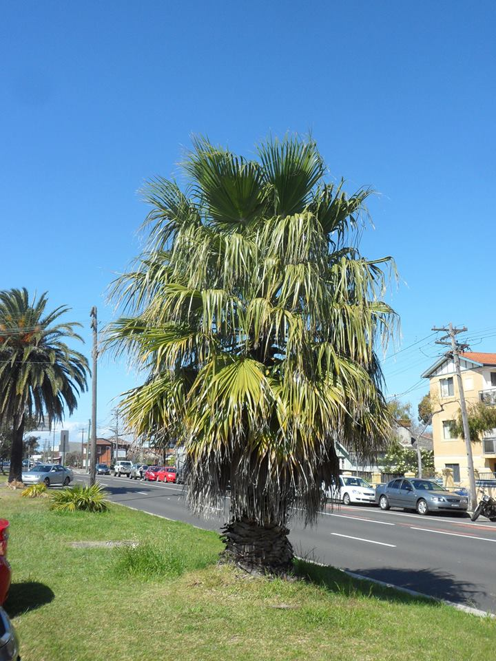 20 California Fan Palm