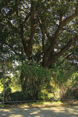 33 Moreton Bay Fig