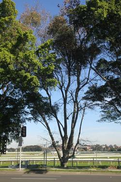 Tree ID 185